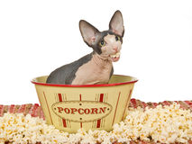 Funny Sphynx kitten eating popcorn Royalty Free Stock Photography