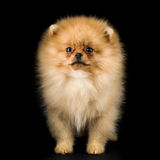 Funny Spitz dog Royalty Free Stock Photos