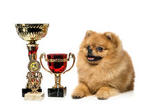 Funny Spitz dog sits and Cup champion Royalty Free Stock Photo