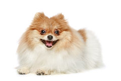 Funny Spitz puppy on a white background Stock Image