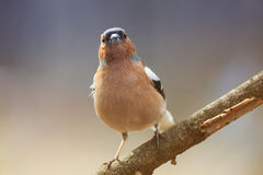Funny spring bird Chaffinch in the Park on the tree Stock Photography