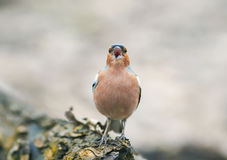 Funny spring bird Chaffinch in the Park on a tree and sings Royalty Free Stock Image