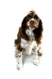 Funny springer spaniel dog Stock Photo