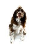 Funny springer spaniel dog Stock Photo