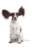 Funny springer spaniel dog with ears in the air. Brown and white dog with flying ears royalty free stock images