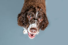 Funny springer spaniel dog Royalty Free Stock Photos