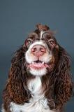 Funny springer spaniel dog Royalty Free Stock Photo