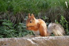 Funny squirrel Royalty Free Stock Photography