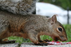 Funny squirrel. A funny squirrel eating a candy Royalty Free Stock Photos