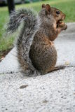 Funny squirrel. A funny squirrel eating a nut Stock Photography