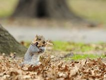 Funny Squirrel Royalty Free Stock Image