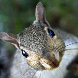 Funny Squirrel. Cute, funny gray squirrel stares straight up at the on-looker royalty free stock image