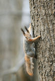 Funny squirrel climbing tree with nut in his teeth Stock Photo