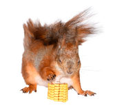Funny squirrel and corn Royalty Free Stock Images