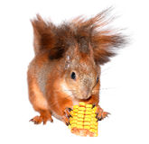 Funny squirrel and corn Stock Photos