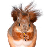 Funny squirrel and corn Stock Images