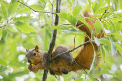 Funny squirrel. Cute squirrel sitting on the tree snacking nut Stock Photos