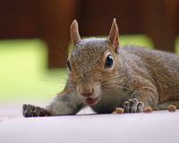 Funny squirrel. Squirrel with funny expression and mouth open closeup Stock Photography