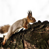 Funny squirrel in the forest Stock Photography