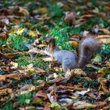 Funny squirrel in the forest Royalty Free Stock Photography