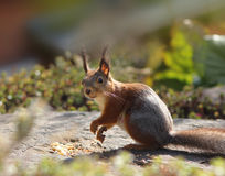 Funny squirrel in garden Royalty Free Stock Image