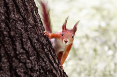 Funny squirrel. Stock Images