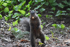 Funny squirrel with a peanut in his mouth. In the Canadian park Stock Image