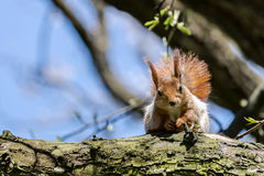 Funny squirrel sitting on tree branch and looking in camera Stock Images