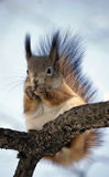 Funny squirrel sitting on a tree branch in the woods Stock Image