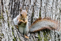 Funny squirrel sitting on tree trunk and holding nut in paws Stock Photography