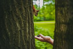 Funny squirrel sneaks to nut. In the forest Stock Photo