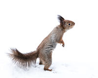 Funny squirrel standing on paws reaching for snack on snow backg Royalty Free Stock Photos