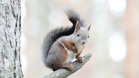 Funny squirrel stock footage