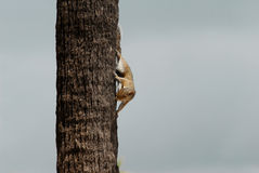 A Funny Squirrel in Tree Royalty Free Stock Photography