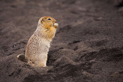 Funny squirrel on volcanic soil. Royalty Free Stock Image