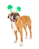 Funny St. Patrick's Day Boxer Dog. Happy Boxer breed dog wearing funny green clover shaped headband to celebrate St. Patrick's Day stock photography