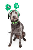 Funny St Patricks Day Dog. Funny terrier crossbreed dog wearing a St Patrick's Day shamrock collar and headband royalty free stock photography