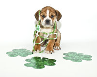 Funny St Patricks Day Puppy. Silly Bulldog puppy with lots of green so not to get pinched on St Patricks Day royalty free stock photos