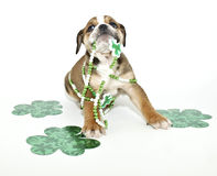 Funny St Patricks Day Puppy. Silly St Patricks Day Bulldog puppy with green clovers and ready for St Patricks Day, on a white background royalty free stock images
