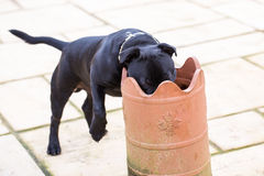 Funny staffordshire bull terrier with head in plant pot Royalty Free Stock Photo