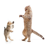 Funny standing kitten and cat royalty free stock photo