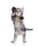 Funny standing playful kitten on white Royalty Free Stock Images