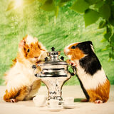 Funny still life with couple of guinea pigs Stock Photo