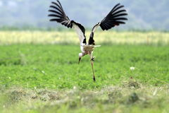 Funny stork in flight Stock Photography