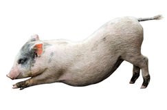 Funny stretching piglet. Isolated on white stock photos