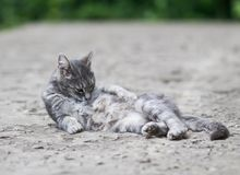 Funny striped cat lies and washes her hair in the yard in the su Stock Photo