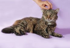 Funny striped cat lying on purple and human hand stroking her ha Royalty Free Stock Photography
