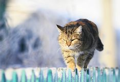 Funny striped domestic cat is striding forward along the tip of a wooden fence in a clear winter village the garden. Cute funny striped domestic cat is striding royalty free stock image