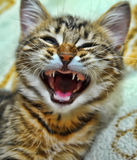 Funny striped kitten yawns Royalty Free Stock Image