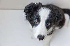 Funny studio portrait of cute smilling puppy dog border collie on white background. Funny studio portrait of cute smilling puppy dog border collie isolated on royalty free stock image